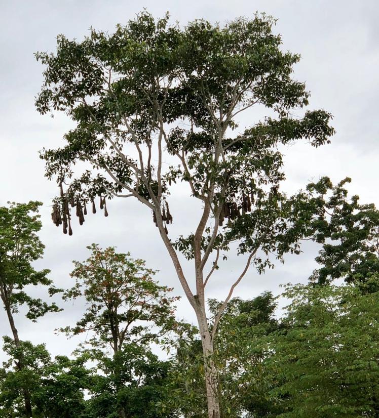 Oropendulo nests in Costa Rica
